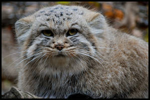 pallas's cat: I hate you by morho