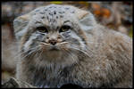 pallas's cat: I hate you