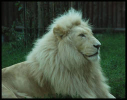 haldir, the white lion by morho