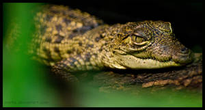 morelet's crocodile baby