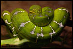 emerald tree boa by morho