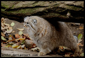 manul by morho
