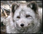 arctic fox portrait by morho