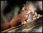 proud squirrel