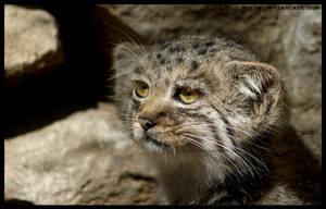 just manul by morho