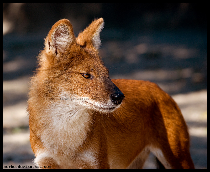 dhole by morho