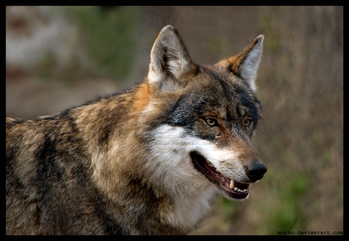 just ... wolf by morho