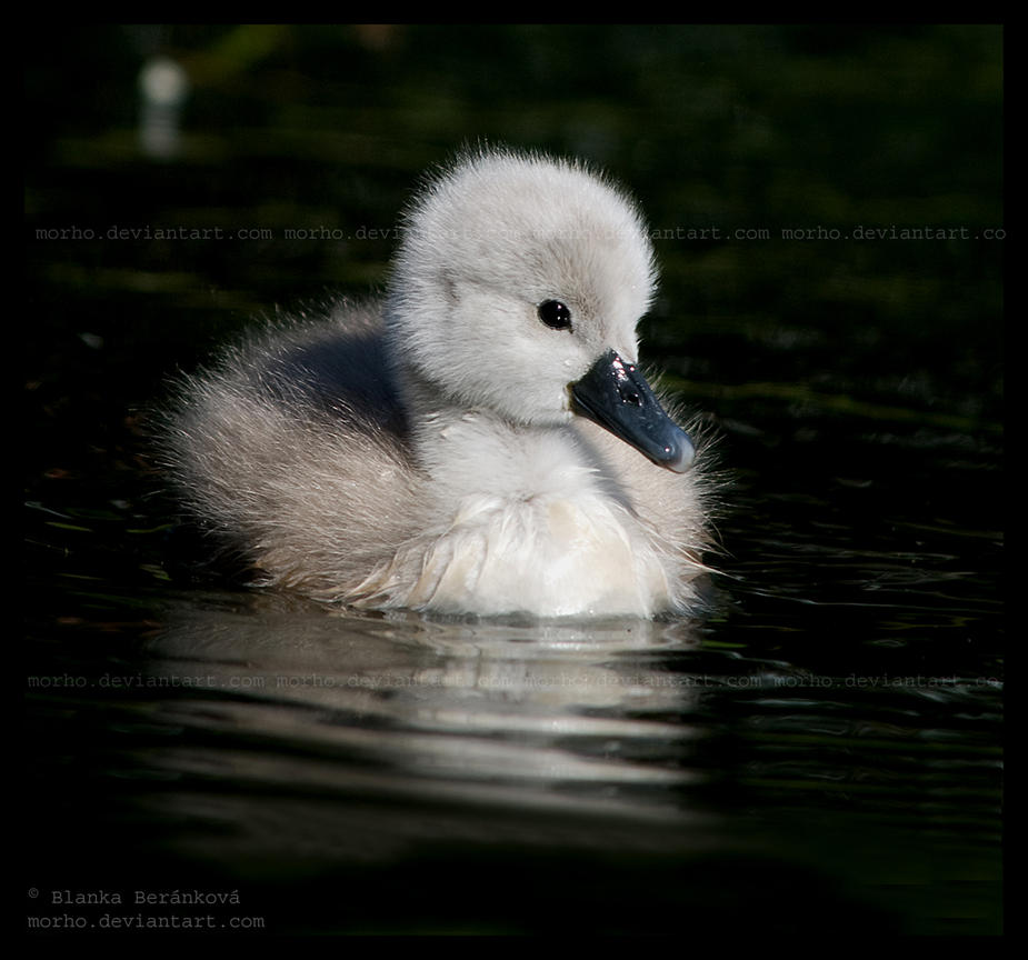 cygnets are here by morho