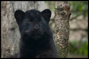 black amur by morho