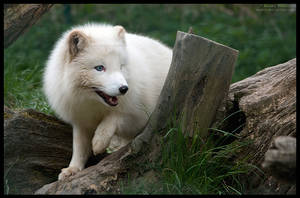 just arctic fox by morho
