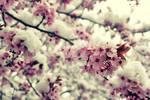 Winter in spring II