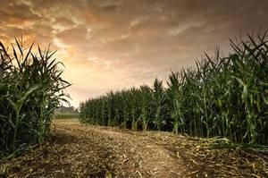 Maize Maze by atol