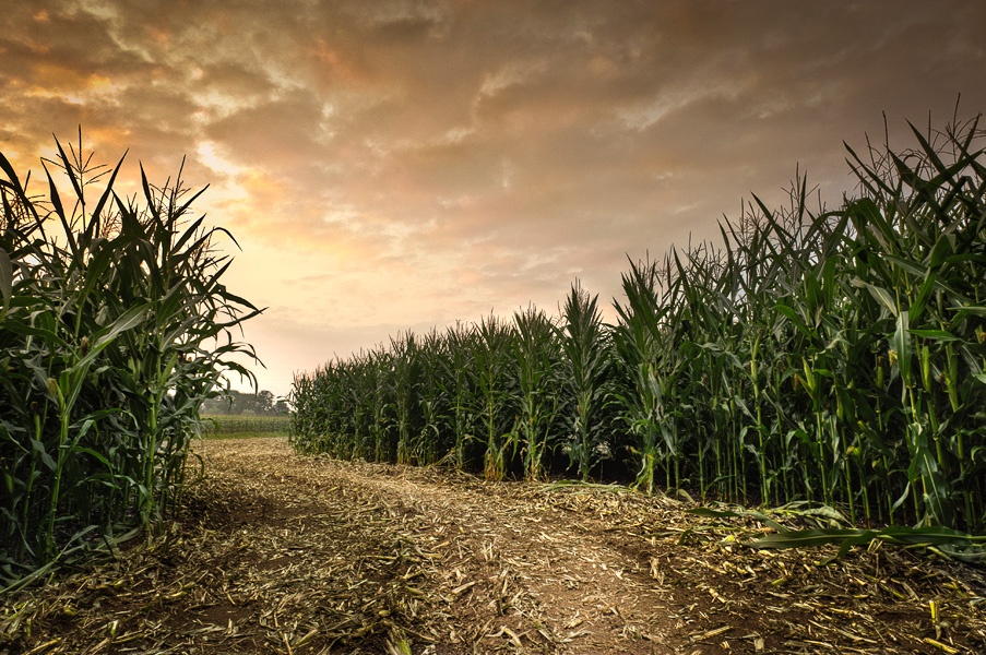 Maize Maze by atol
