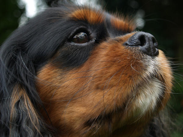Cavalier King Charles Spaniel by suphoto