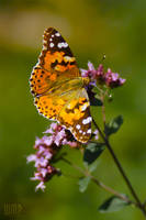 Vanessa cardui by wmp80