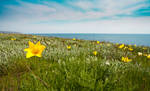Crimea. Wild Schrenk's tulips
