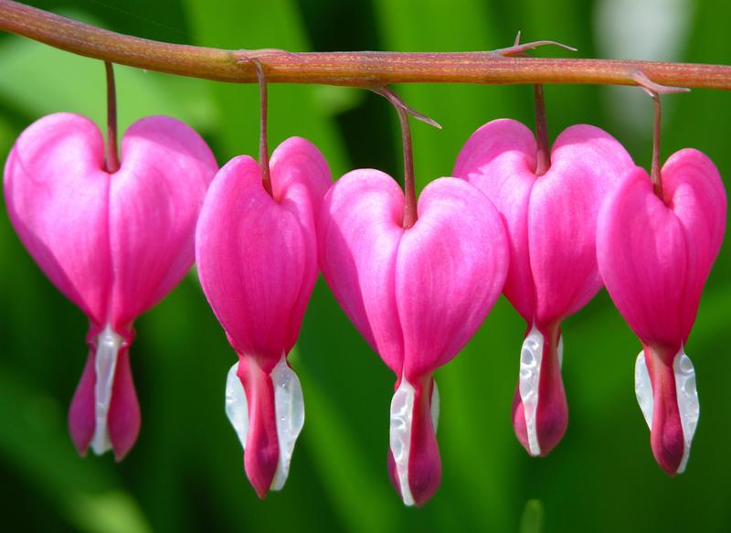 love heart shaped flowerflower - photo #44
