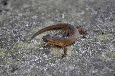Sweeping Newt