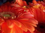 gerbera daisies by dandilionseed