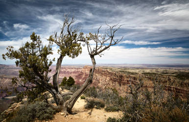 A lonely tree overseeing the Grand Canyon
