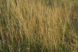Golden Grass by Nattgew