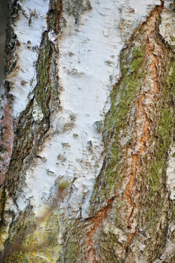 bark of birch by heyla-stock