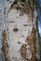 bark of birch_2 by heyla-stock