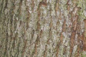 bark of common oak by heyla-stock