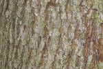 bark of common oak