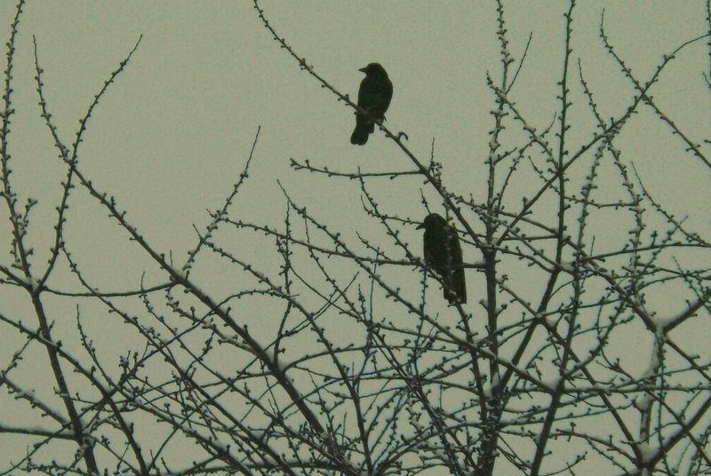 ravens by heyla-stock