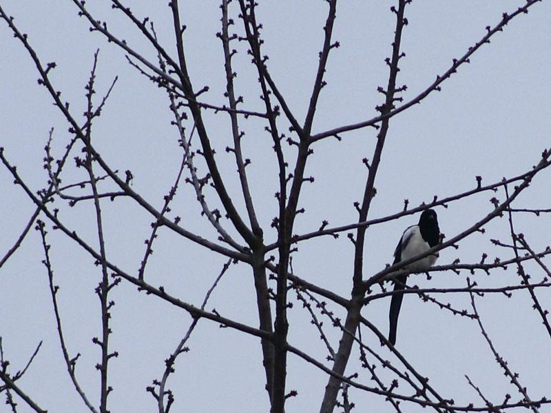 magpie by heyla-stock