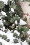 wall clad in snowy ivy