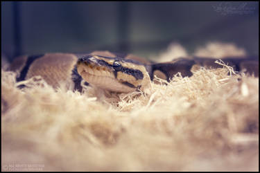 Ball Python (Normal) 1821 by SMB-Photography