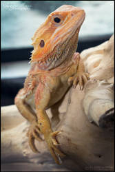 Bearded Dragon 1977 by SMB-Photography