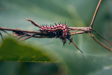 Variegated Fritillary Caterpillar by SMB-Photography
