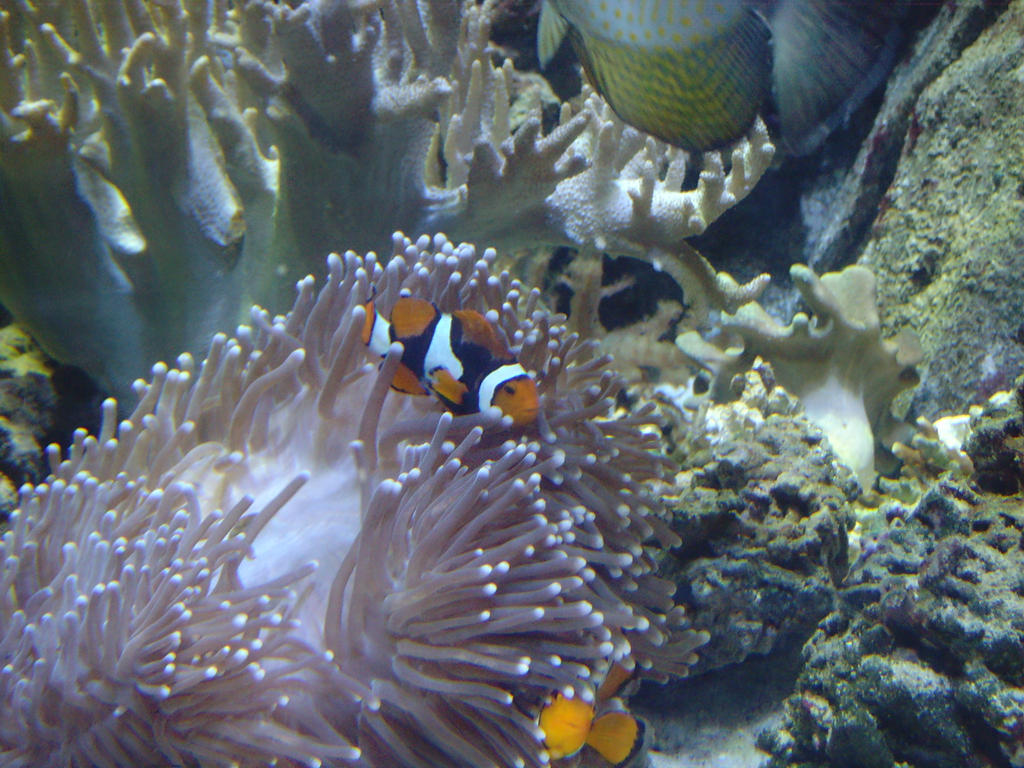 Clownfish and sea anemone by Aruyinn-Stock on DeviantArt