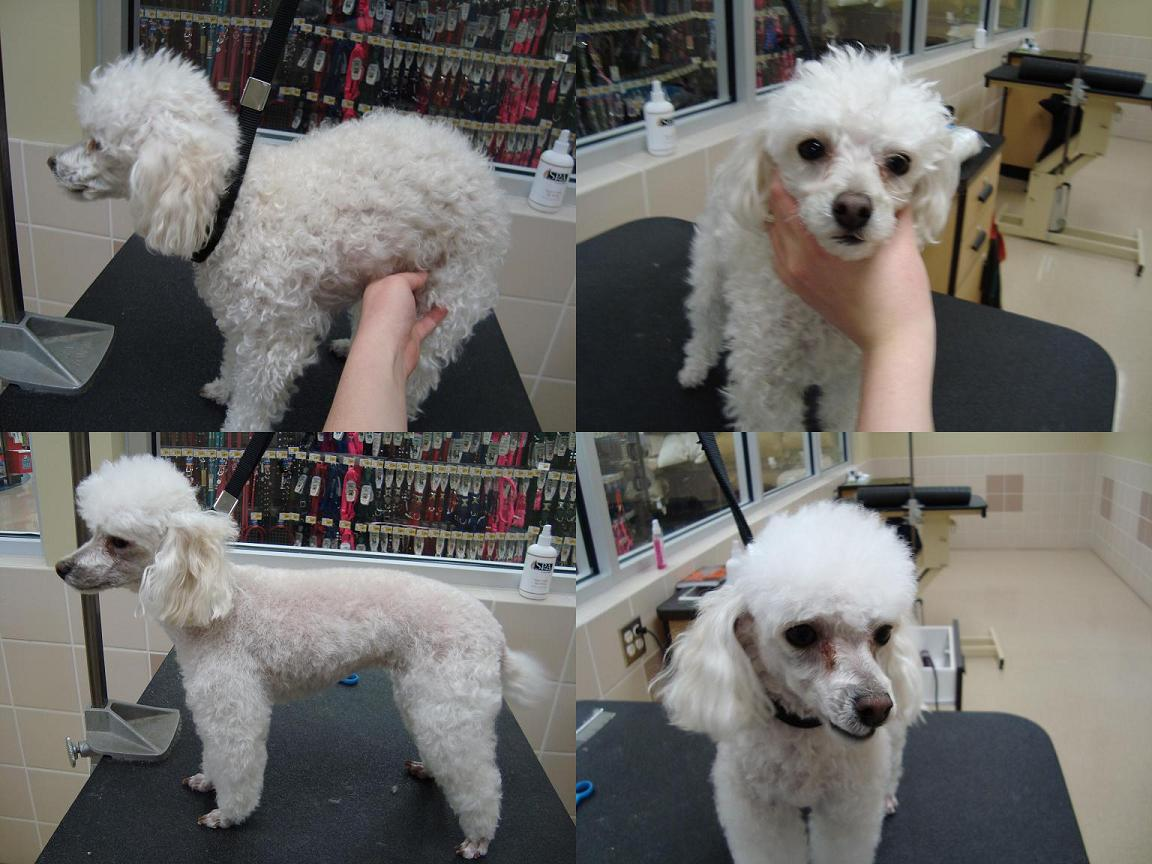 Toy Poodle Haircut Styles Find Hairstyle