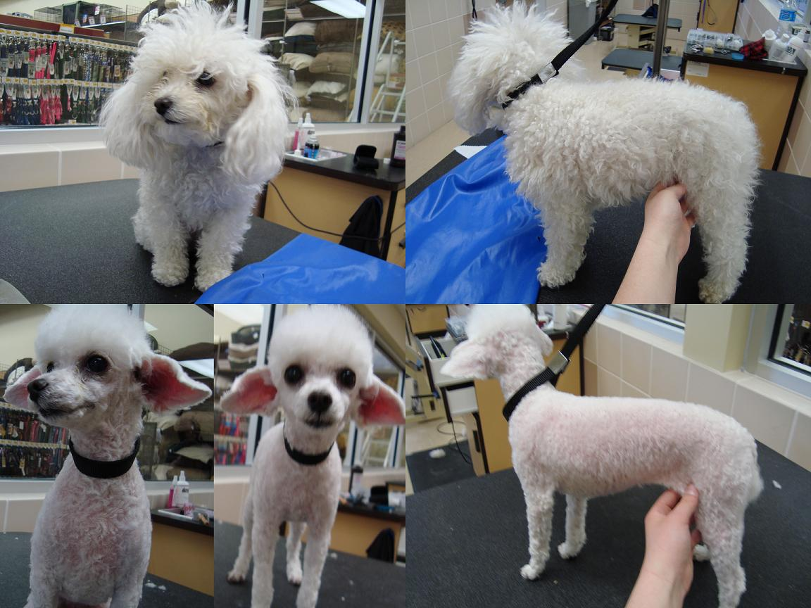 Dog Grooming Poodle Haircut Styles Hairstylegalleries Com