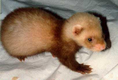 baby ferret by nighthowler36