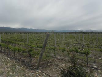 Vineyards by Kalosys-stock