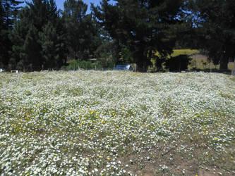 White flowers field