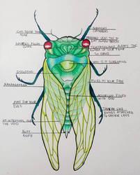 Anatomy of a Cicada