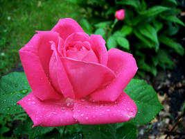 Rose Reborn by gorgonzola357