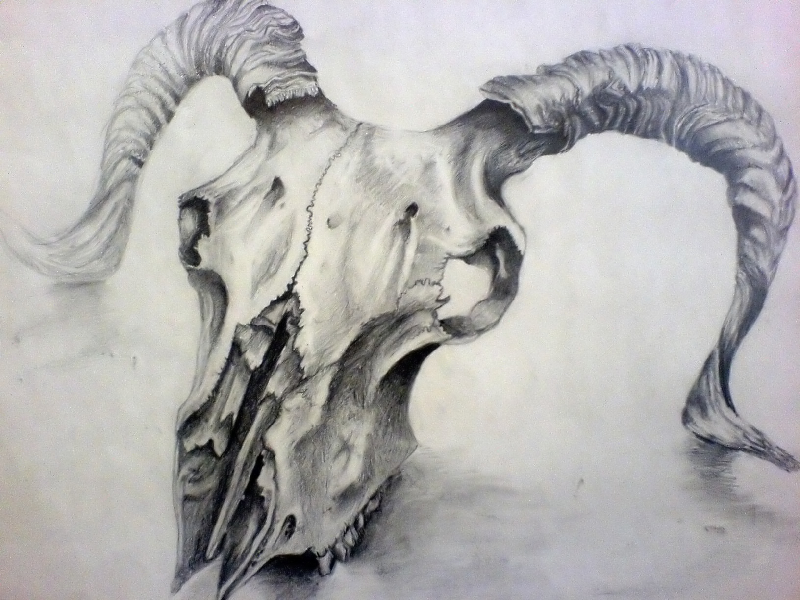 Bighorn Sheep Skull Drawing