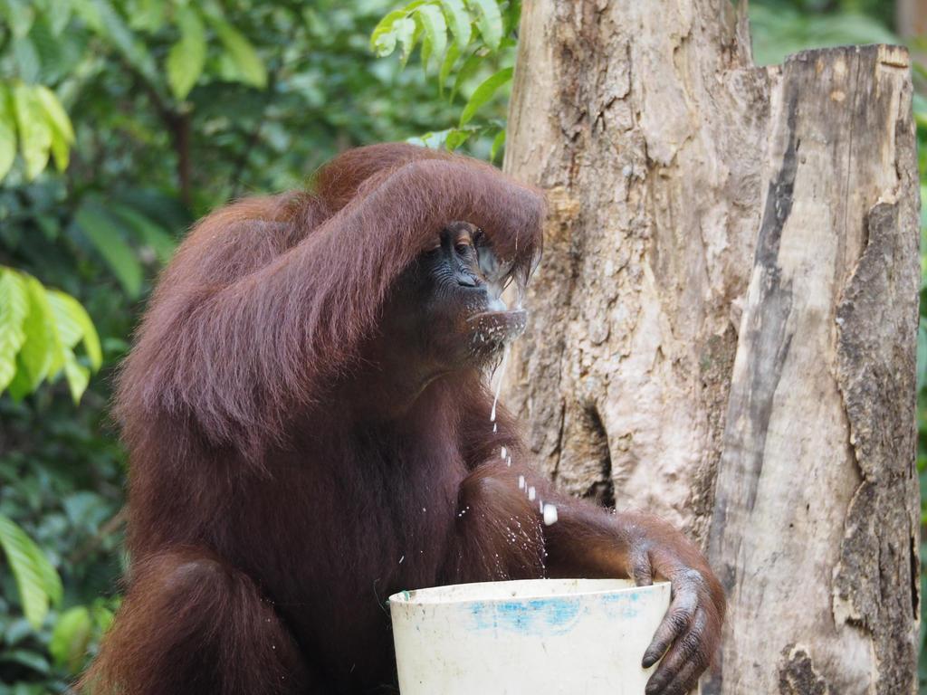 Orang drinking milk by Mungogreen