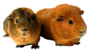 2 Guinea Pig Png #002