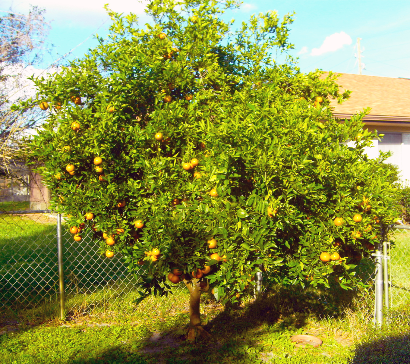 Is This Orange Tree Growing Properly? (PICS) (trees, Concrete, Backyard)    Garden  Trees, Grass, Lawn, Flowers, Irrigation, Landscaping...   City Data  Forum