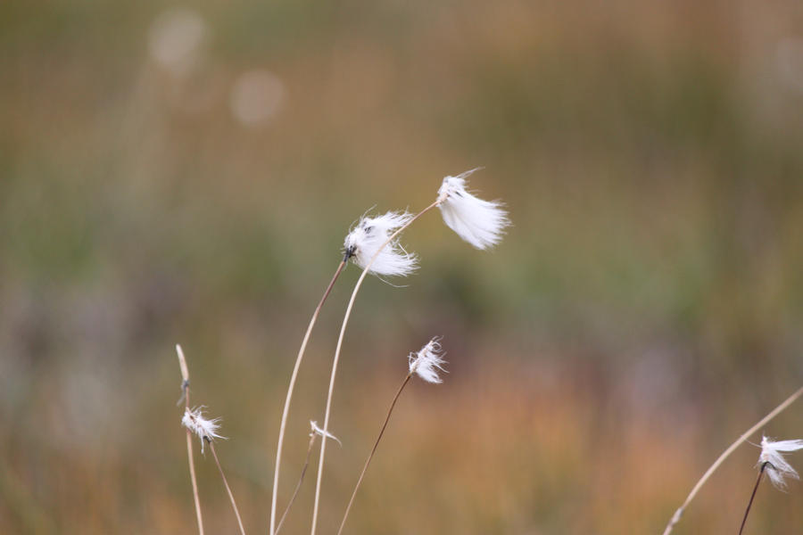 Cottongrass by SkyStockProvider