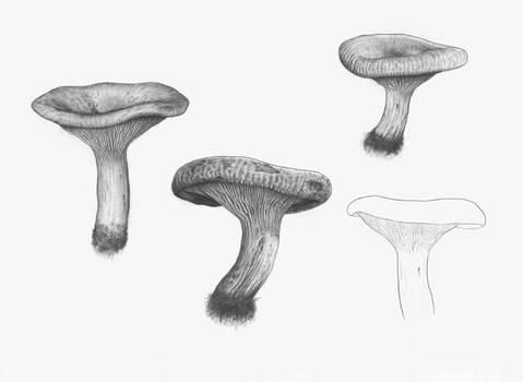 Paxillus involutus (sketches)