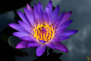 Lotus Lights by vrushasphotographic